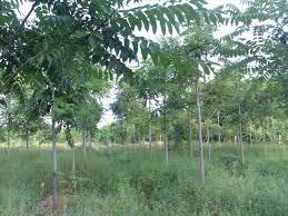 ปลูกต้นตะกูยักษ์รวยจริงหรือ